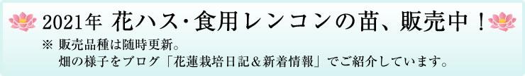 食用レンコン苗・花ハス 販売中!