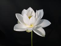 花ハス:白光蓮(びゃっこうれん)